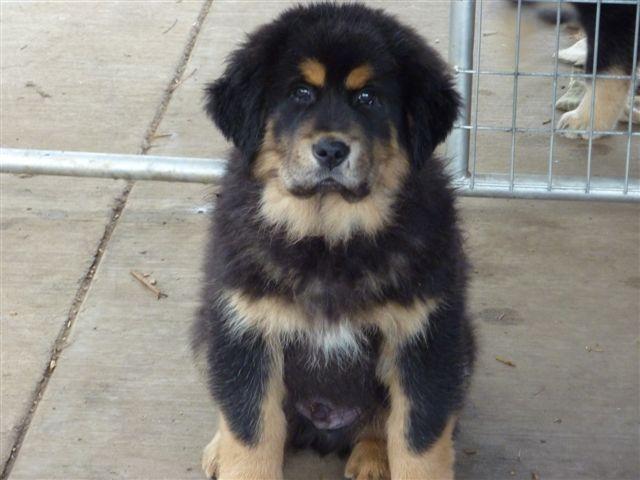 ... Northwest_Breeder_Sunset_Tibetan_Mastiff-Puppy-Adopt | Sunset Tibetan