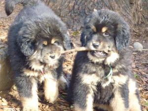 Tibetan Mastiff Puppies | Sunset Tibetan