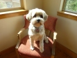 Our Tibetan Terrier, Camilla, on her favorite chair in the corner of the dining room.  With summer clip!